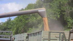 В районе собрано первую тысячу тонн зерна-4