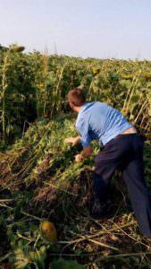 В Изюмском р-н СБУ ликвидировала незаконную плантацию конопли