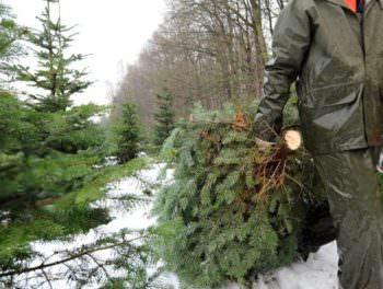 В Змиевском районе выявлена попытка украсть 100 елок