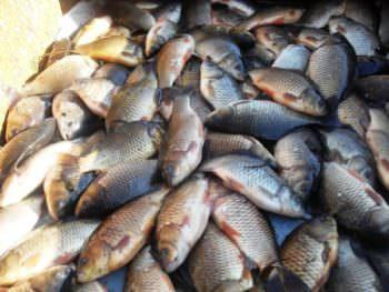 В г. Изюм на рынке незаконно продавали выловленную рыбу карась