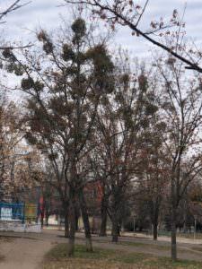 Что делать с больными деревьями в центральном парке во время реконструкции