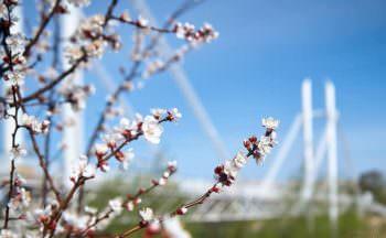 пешеходный мост, весна, абрикоса, цветы