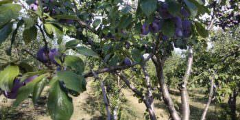 Изюмский виноград и сливы уже продаются на рынках