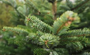 Средняя цена при покупке елок в текущем году составит 75 грн за погонный метр