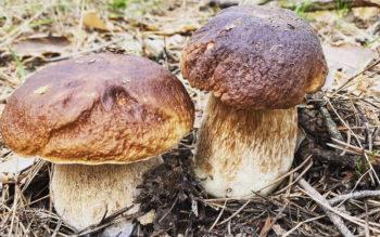 На Изюмщине пошли первые белые грибы