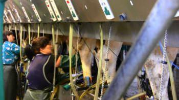 Крупнейшее хозяйство в харьковской области по производству молока